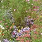 Wildflower garden Provence 2005 034